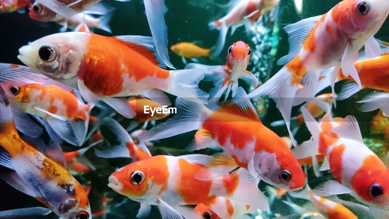 Close-up of koi carp in aquarium