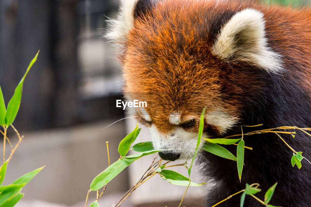 one animal, animal, animal themes, mammal, animal wildlife, animals in the wild, leaf, vertebrate, plant part, focus on foreground, close-up, red panda, no people, nature, plant, day, panda - animal, outdoors, bamboo - plant, animal body part, zoo, animal head, whisker
