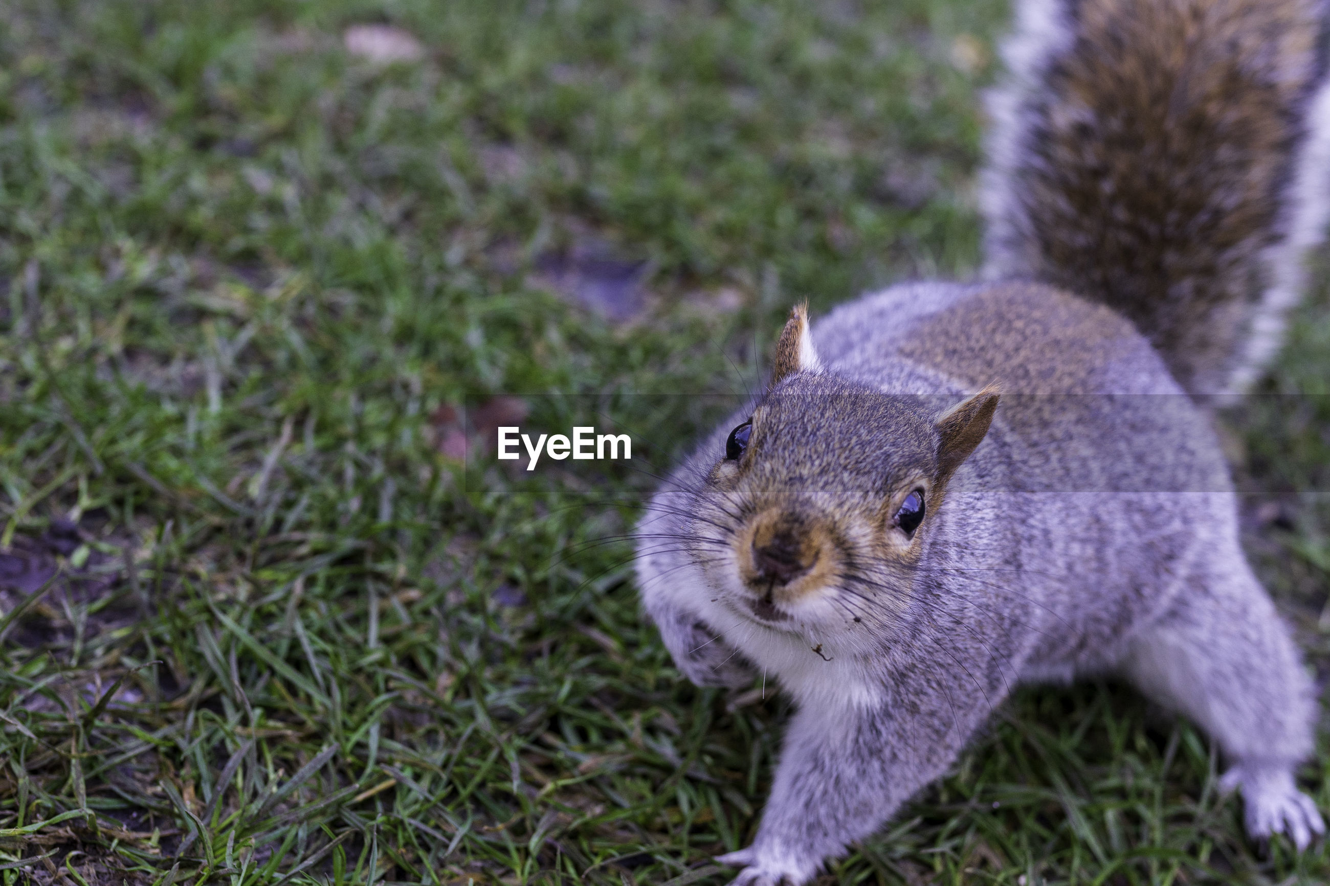 Close-up portrait of squirrel sneaking towards camera