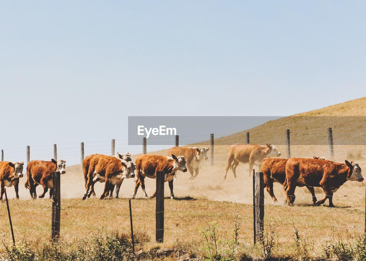 Cows walking on field against clear sky