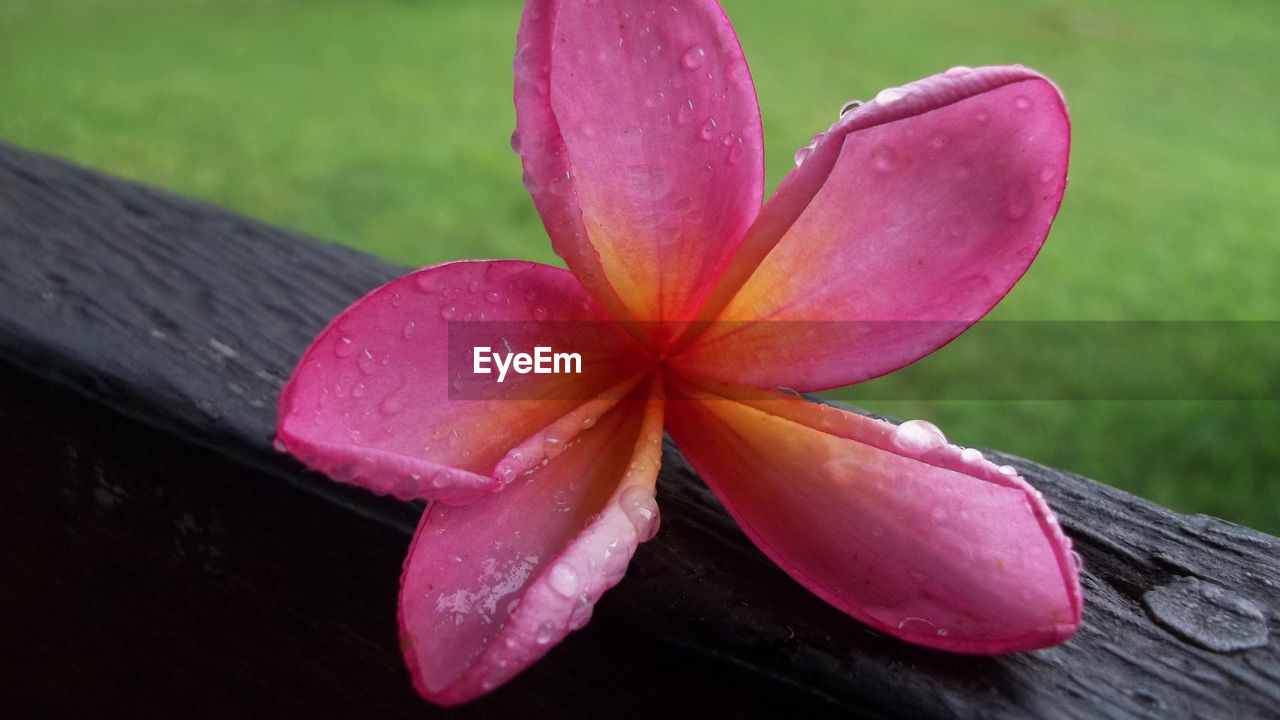 pink color, petal, freshness, close-up, fragility, nature, flower, no people, beauty in nature, flower head, day, outdoors, water, frangipani, periwinkle
