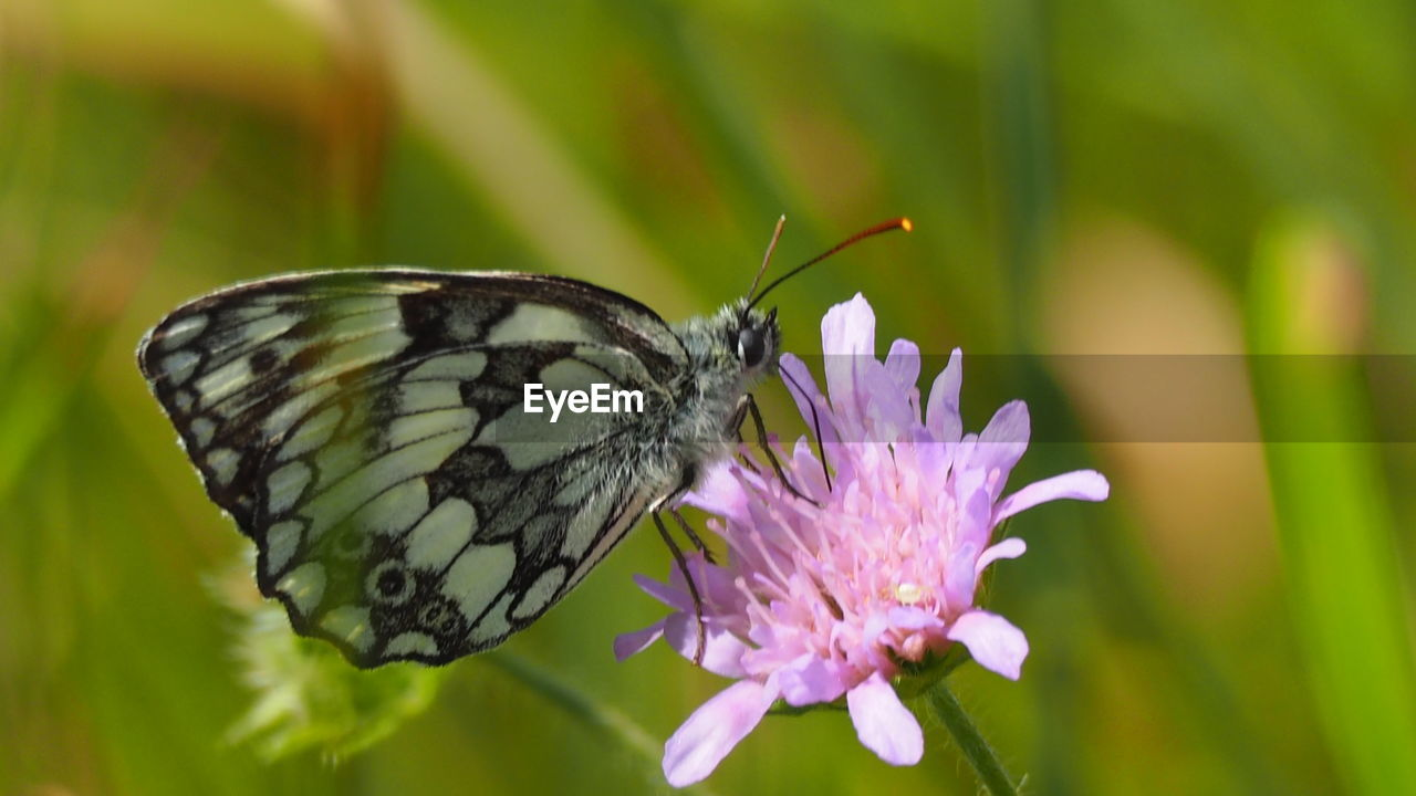 insect, one animal, animal themes, animals in the wild, butterfly - insect, flower, nature, fragility, no people, close-up, plant, beauty in nature, freshness, animal wildlife, outdoors, focus on foreground, butterfly, day, growth, flower head, pollination, perching