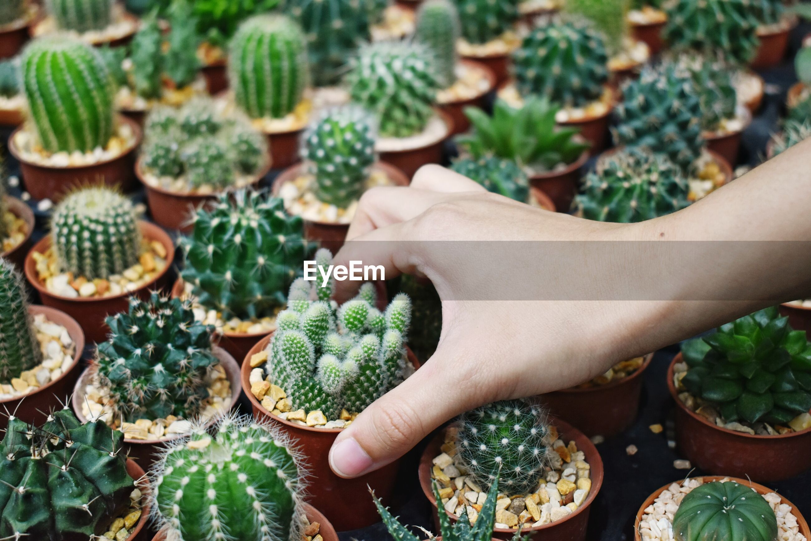 Cropped hand holding potted cactus