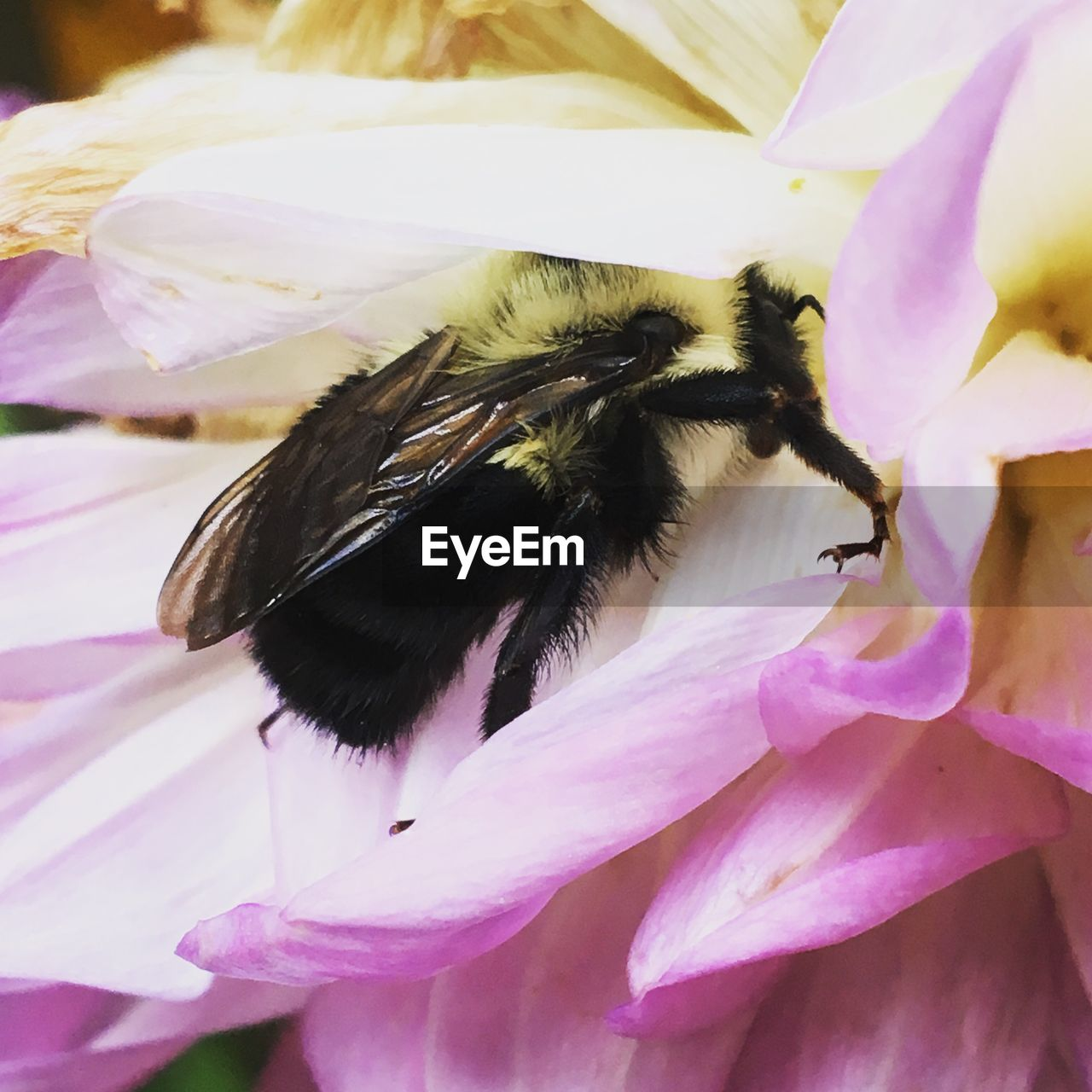 flower, petal, insect, one animal, close-up, animal themes, fragility, nature, animals in the wild, pink color, purple, freshness, beauty in nature, flower head, growth, no people, day, outdoors, bumblebee, plant, animal wildlife, pollination, bee