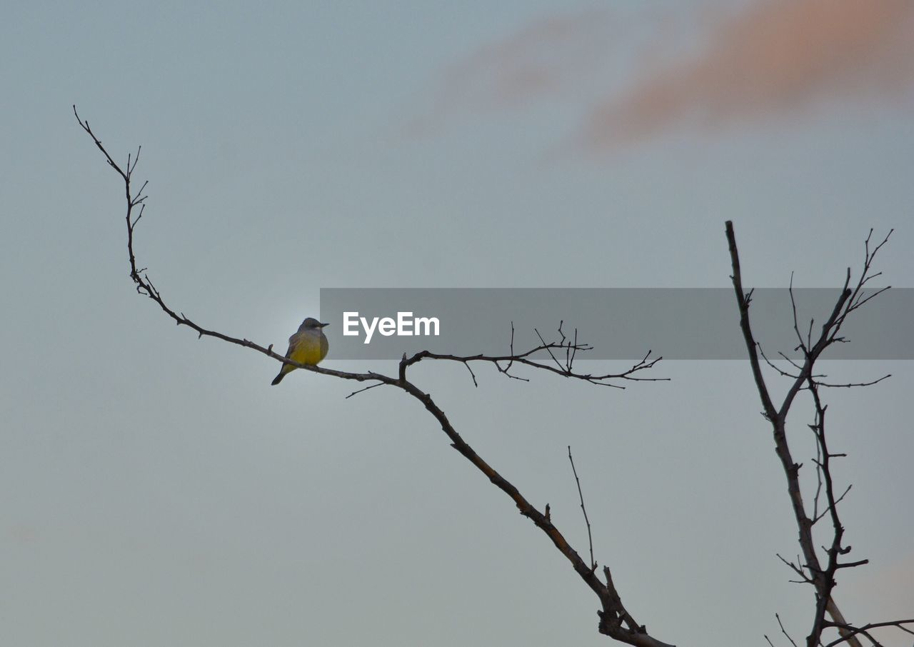 bird, vertebrate, animals in the wild, animal wildlife, animal, animal themes, branch, sky, tree, low angle view, one animal, perching, bare tree, plant, no people, nature, outdoors, day, clear sky, eagle