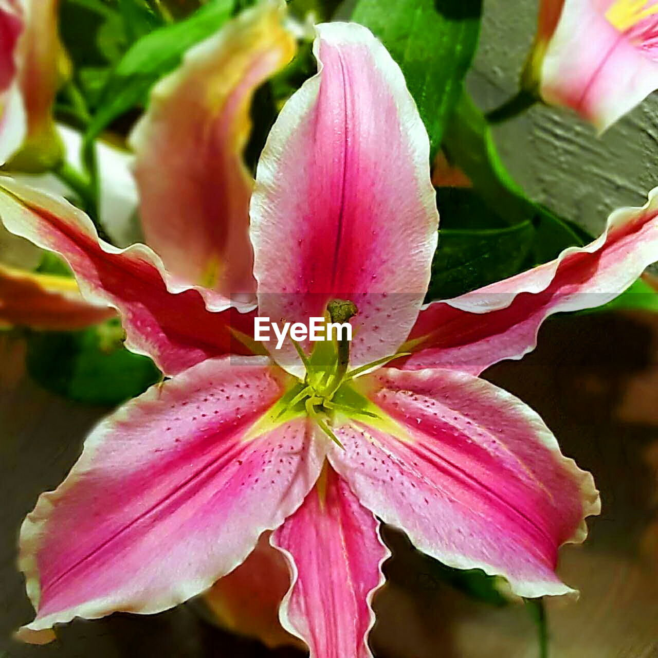 flower, beauty in nature, petal, fragility, growth, flower head, nature, plant, pink color, freshness, close-up, leaf, no people, day, outdoors, day lily, blooming, water