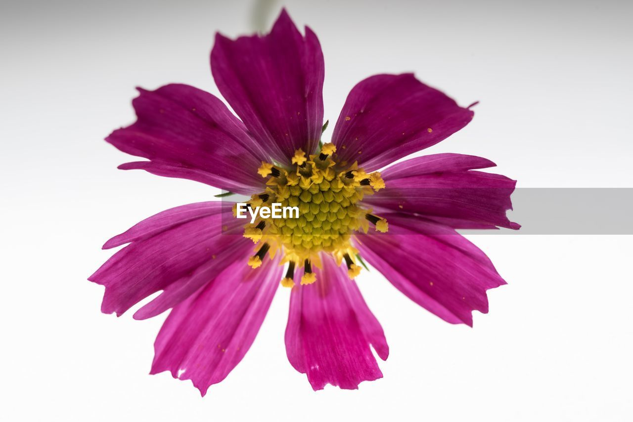 flower, flowering plant, petal, beauty in nature, freshness, flower head, vulnerability, fragility, studio shot, inflorescence, white background, close-up, plant, growth, no people, indoors, pollen, nature, purple, gazania