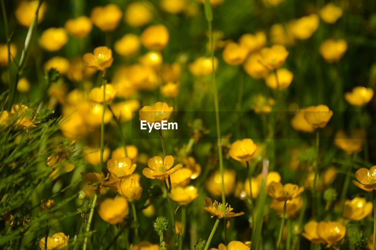 plant, beauty in nature, flower, flowering plant, freshness, growth, fragility, vulnerability, no people, close-up, selective focus, yellow, nature, day, full frame, green color, field, outdoors, land, tranquility, flower head