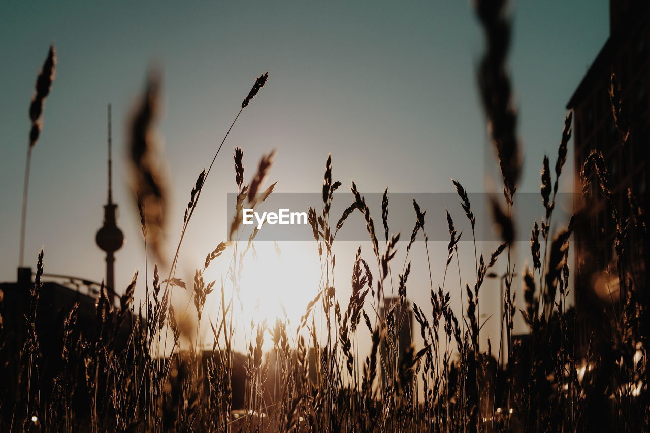 growth, plant, sky, sunset, field, beauty in nature, tranquility, land, focus on foreground, nature, no people, crop, close-up, tranquil scene, silhouette, agriculture, scenics - nature, selective focus, landscape, rural scene, outdoors, stalk, timothy grass, plantation
