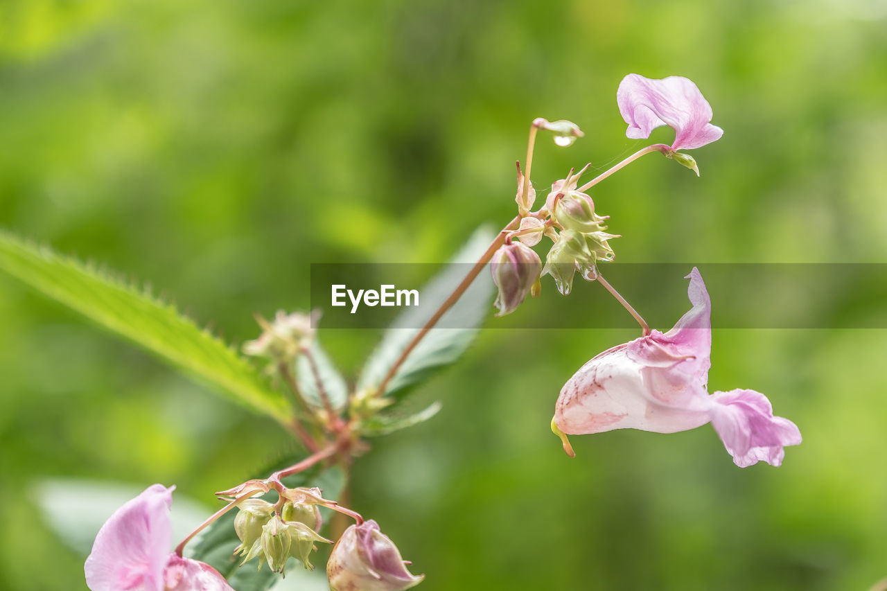 flowering plant, flower, plant, fragility, vulnerability, beauty in nature, growth, freshness, petal, close-up, pink color, focus on foreground, nature, flower head, no people, insect, invertebrate, inflorescence, day, animals in the wild, pollen, pollination