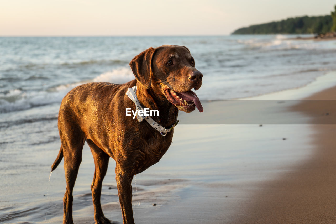 canine, dog, domestic animals, mammal, pets, water, one animal, domestic, beach, sea, animal, animal themes, land, vertebrate, horizon over water, nature, looking away, focus on foreground, looking, no people, outdoors, mouth open, purebred dog