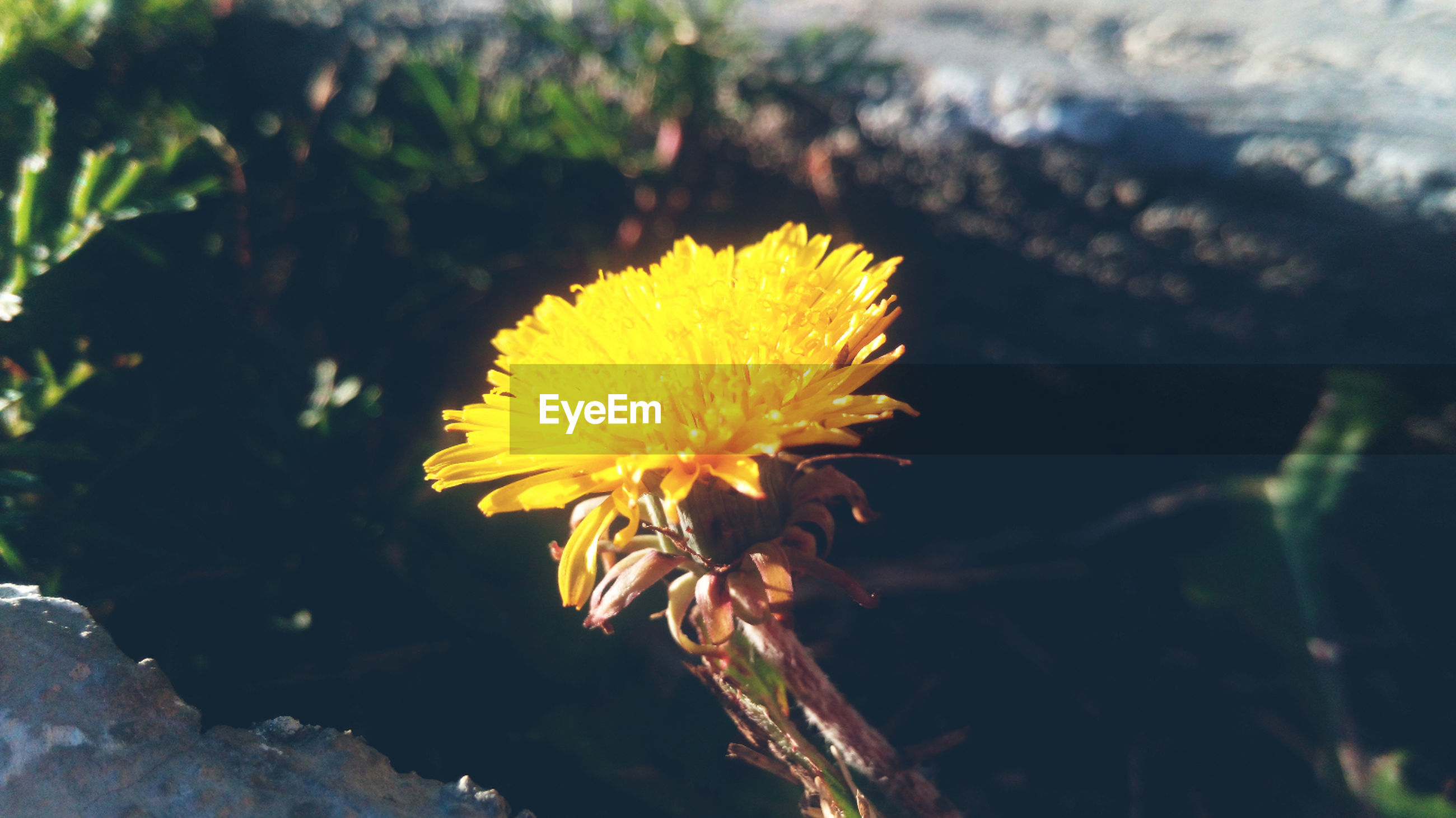 flower, fragility, yellow, freshness, growth, close-up, focus on foreground, nature, single flower, beauty in nature, flower head, plant, petal, dandelion, blooming, outdoors, day, stem, no people, selective focus