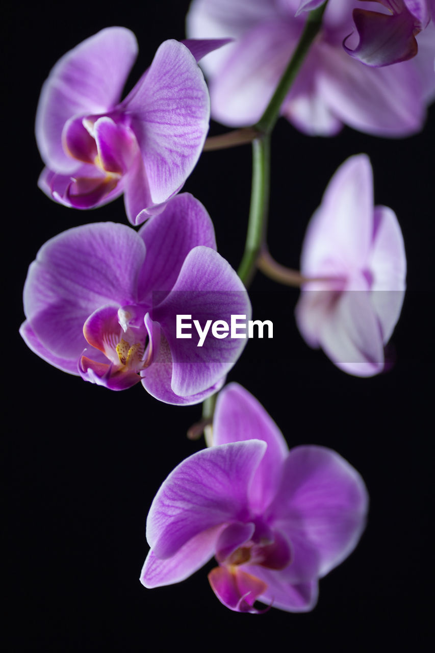 Close-Up Of Orchids Blooming Against Black Background