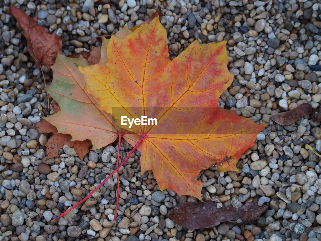 autumn, change, leaf, dry, nature, maple, maple leaf, leaves, day, outdoors, fallen, close-up, beauty in nature, abundance, high angle view, directly above, no people, fragility