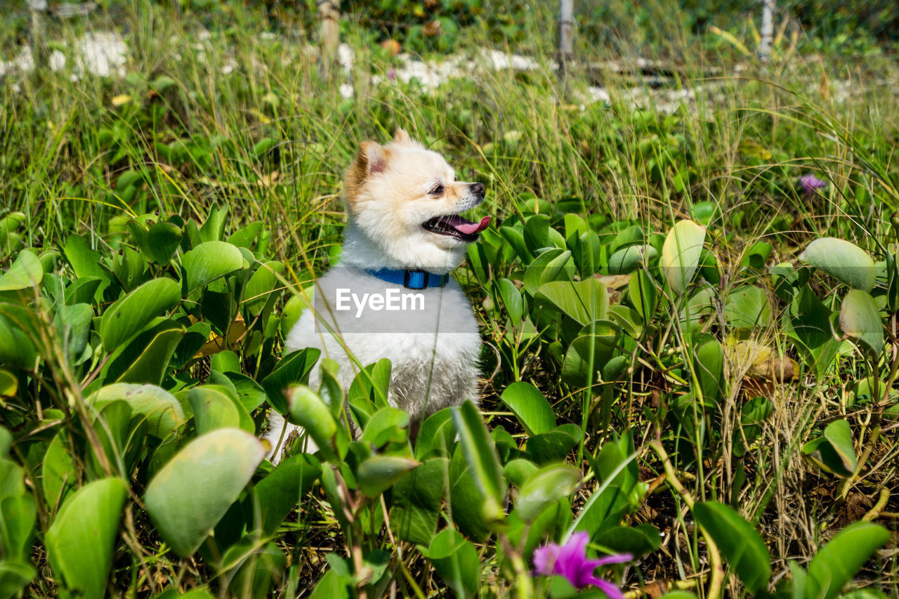one animal, animal, animal themes, mammal, plant, domestic, pets, domestic animals, vertebrate, dog, canine, nature, no people, mouth, field, growth, land, day, mouth open, green color
