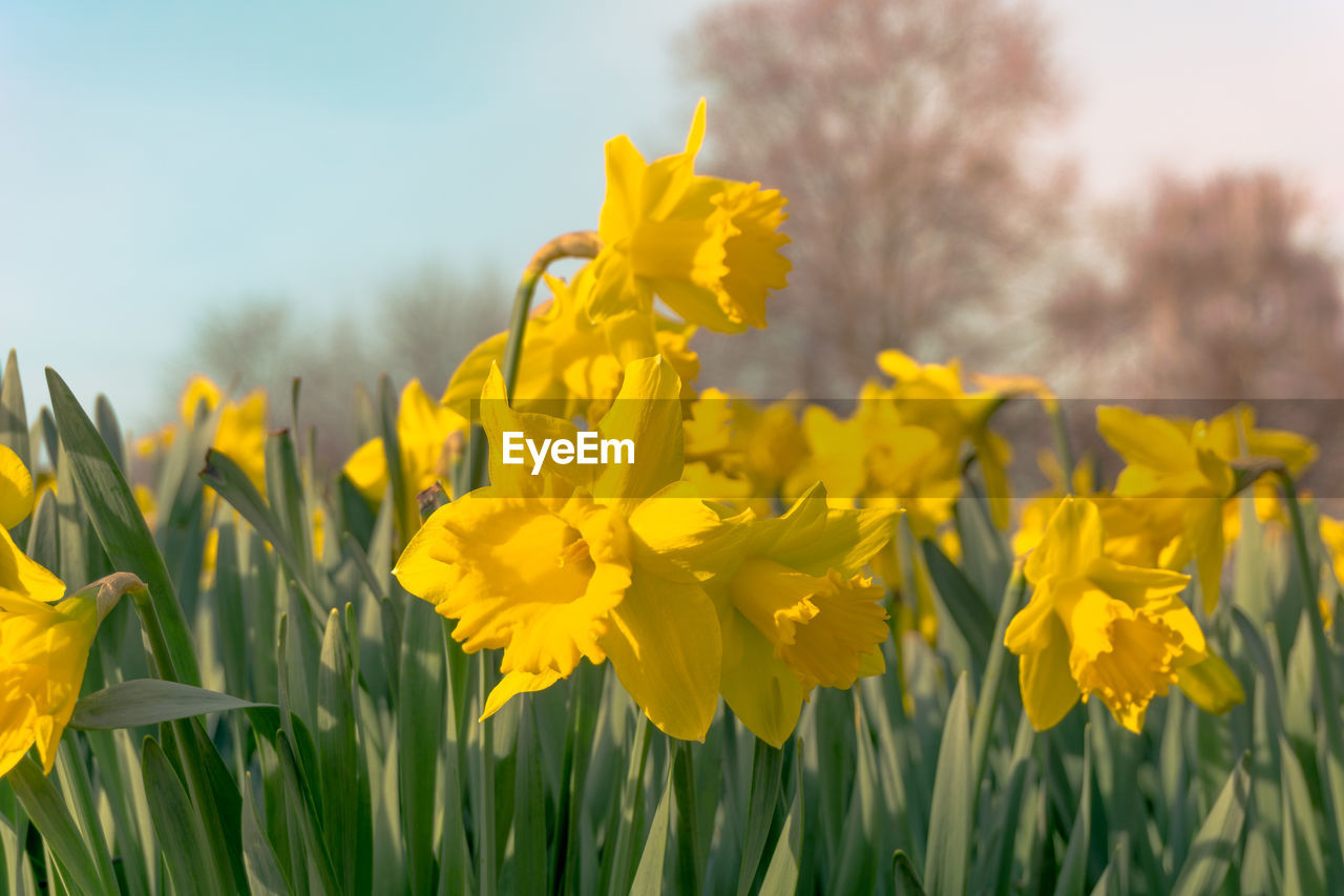 flowering plant, flower, yellow, plant, vulnerability, growth, beauty in nature, fragility, freshness, field, petal, close-up, nature, flower head, land, inflorescence, sky, focus on foreground, no people, day, springtime, outdoors, flowerbed