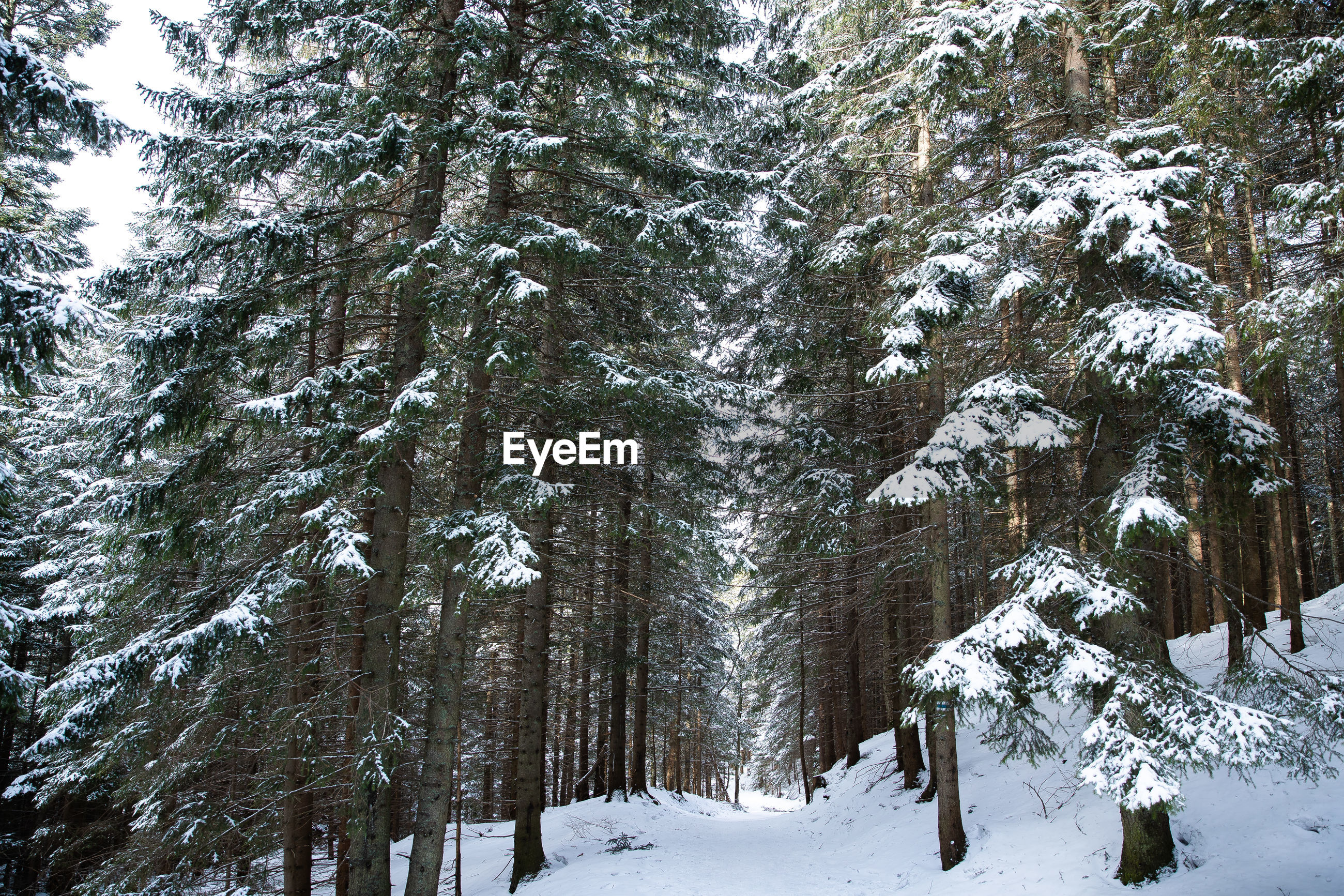 PINE TREES ON SNOW COVERED LANDSCAPE