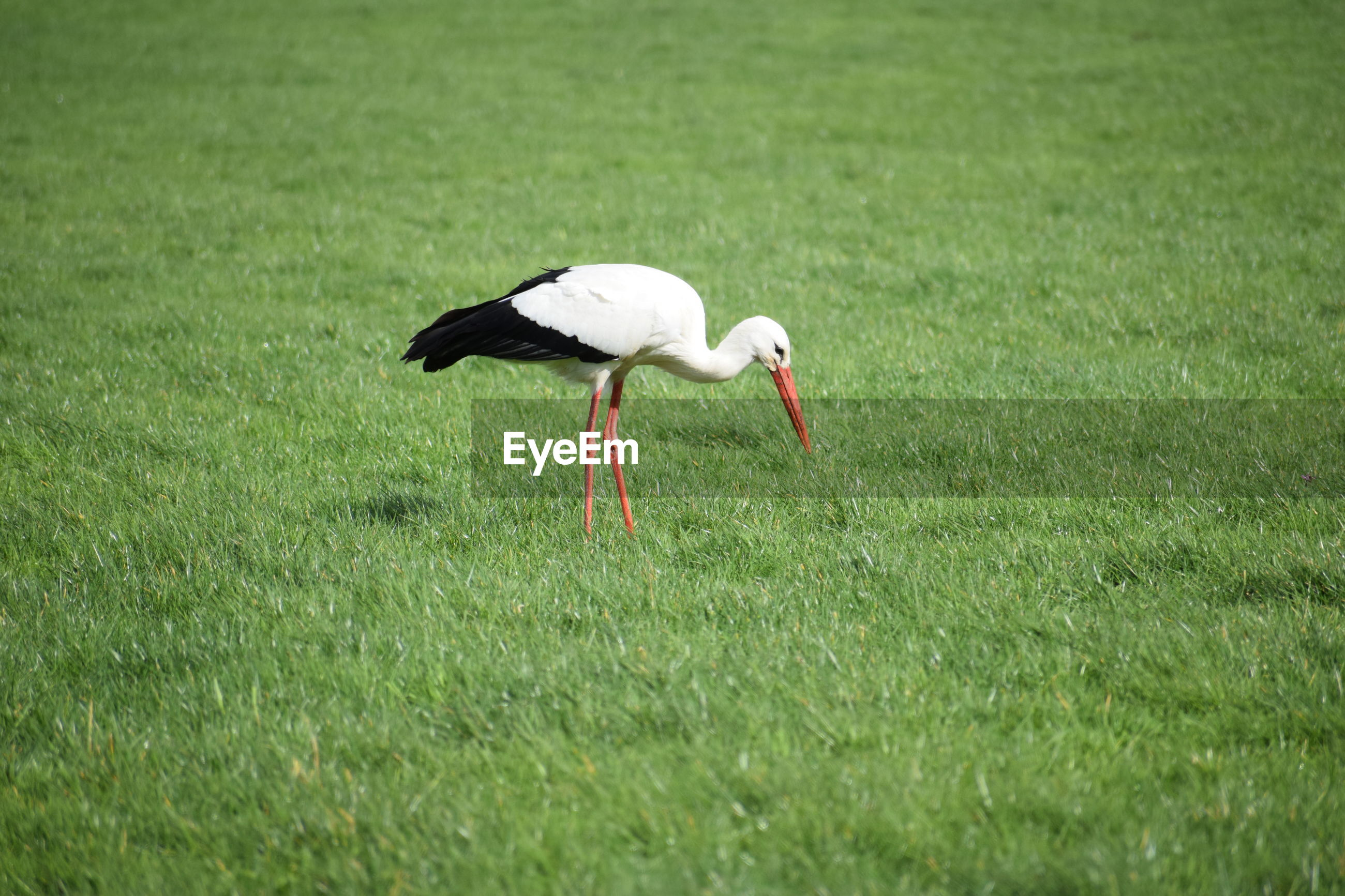 stork / ooievaar Grass Animals In The Wild Animal Animal Wildlife Bird Animal Themes Vertebrate Plant One Animal Green Color Field No People Day Nature Land Selective Focus Stork Side View Outdoors White Stork Storm Cloud Ooievaar