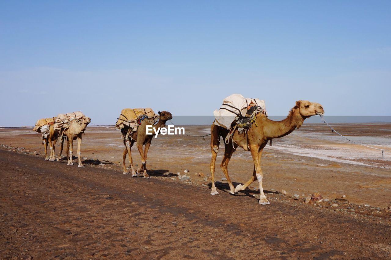 VIEW OF HORSES IN DESERT