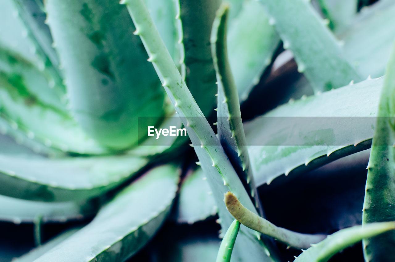 Close-Up Of Aloe Vera Plant