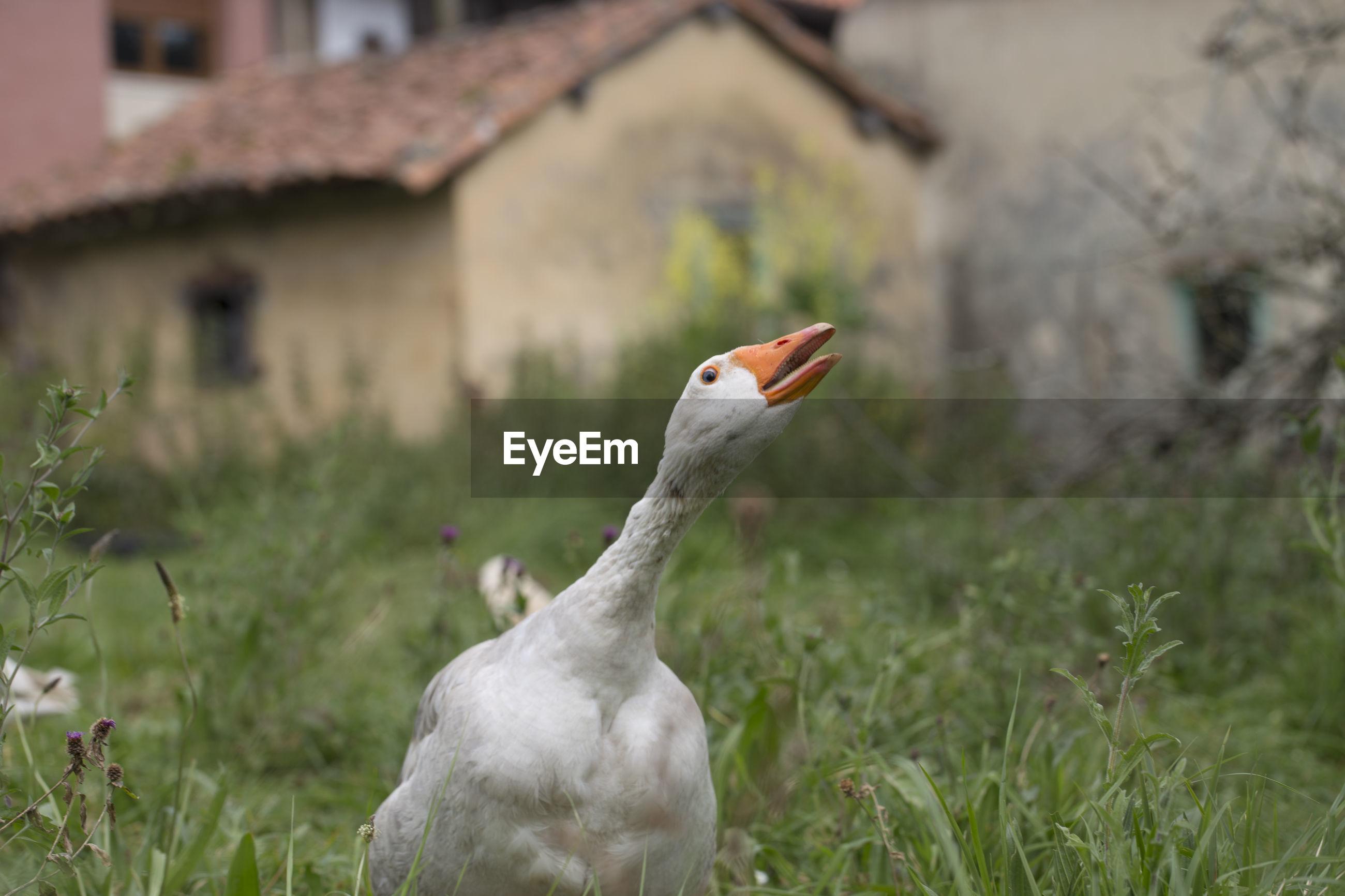 White goose amidst grassy field