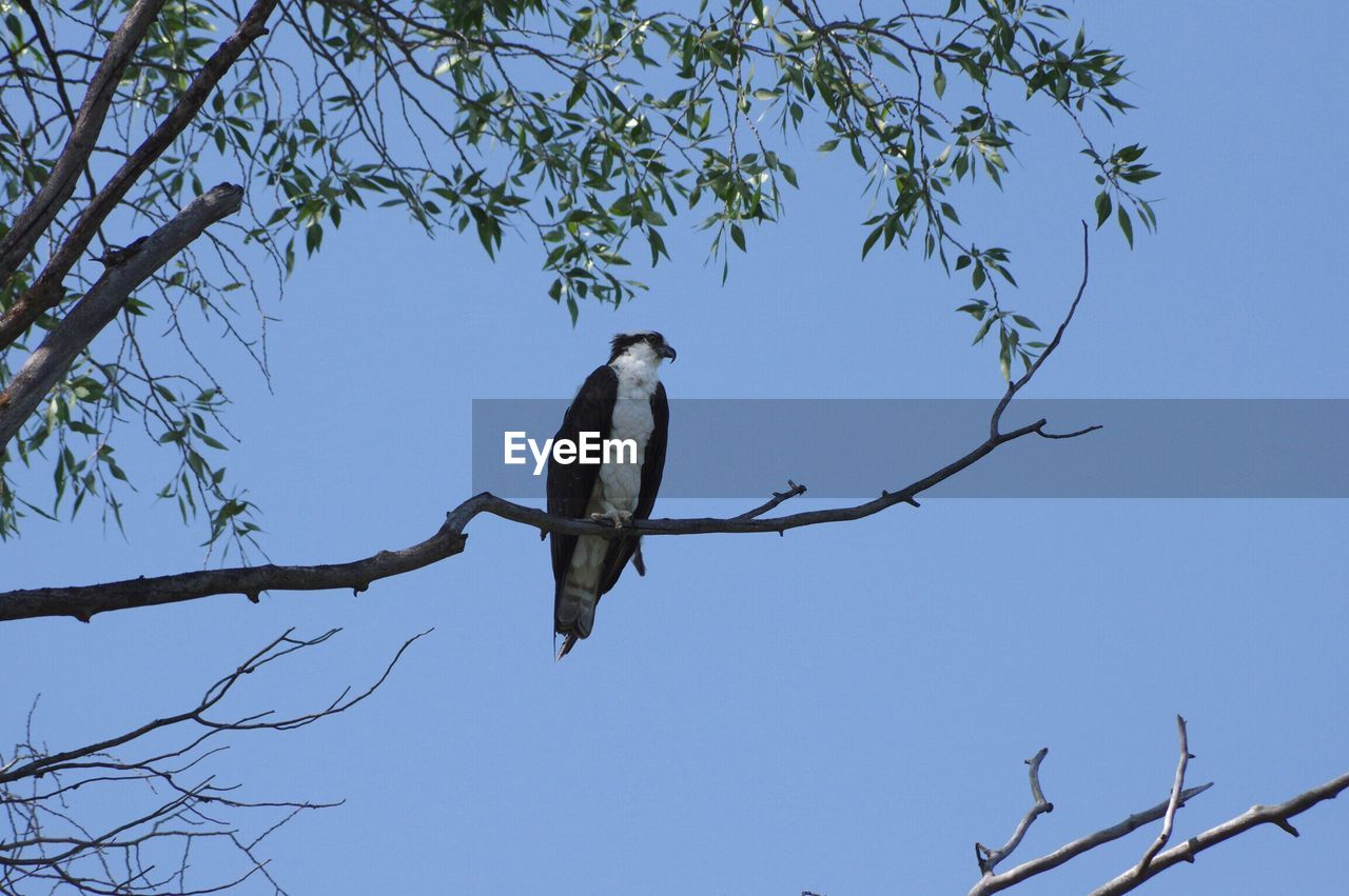 animal wildlife, vertebrate, animals in the wild, bird, animal, animal themes, tree, low angle view, branch, perching, plant, sky, one animal, no people, nature, clear sky, blue, day, bare tree, outdoors, eagle