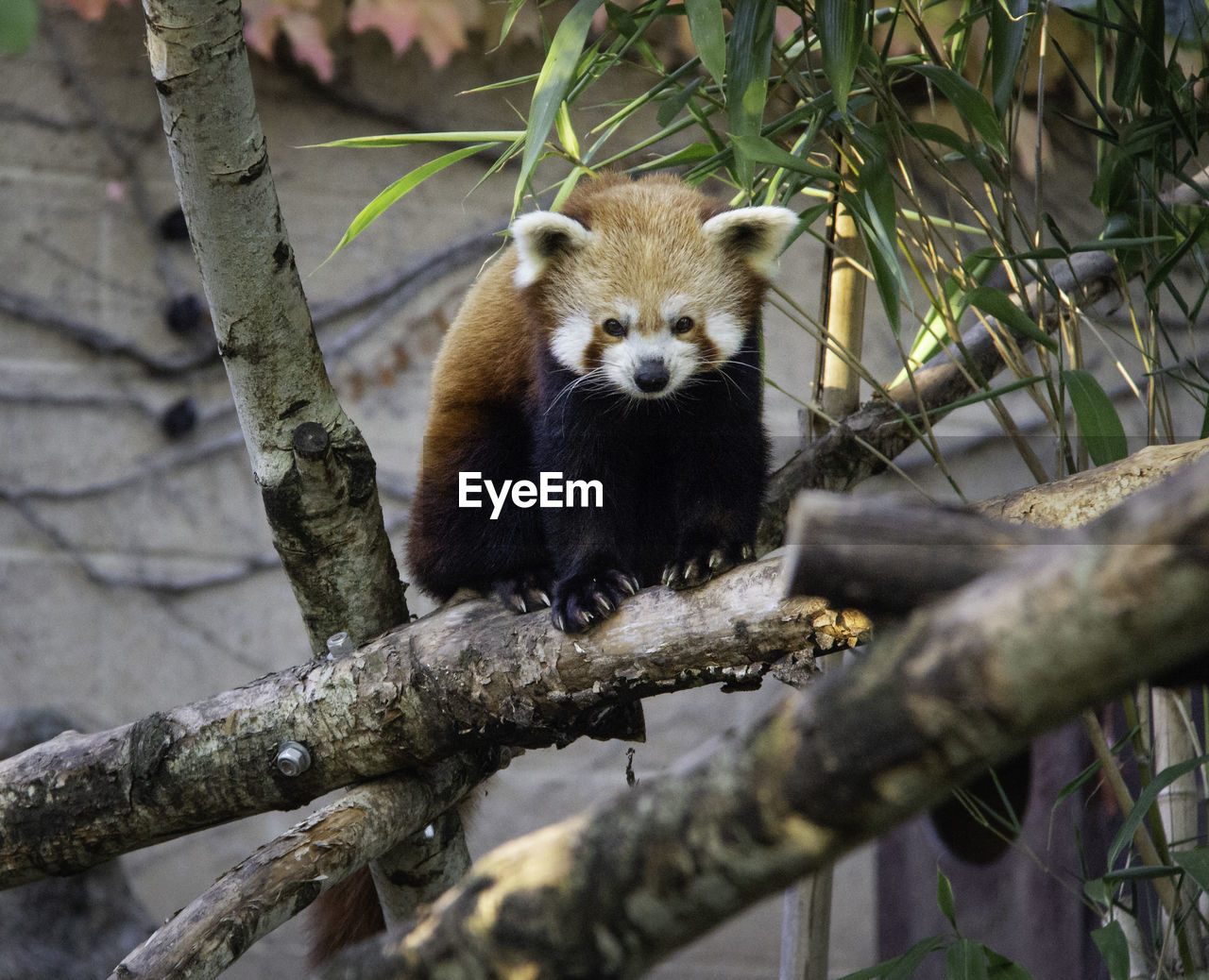 animal, animal wildlife, animal themes, tree, animals in the wild, one animal, branch, plant, mammal, vertebrate, panda - animal, red panda, nature, no people, day, selective focus, outdoors, focus on foreground, portrait, looking at camera, whisker