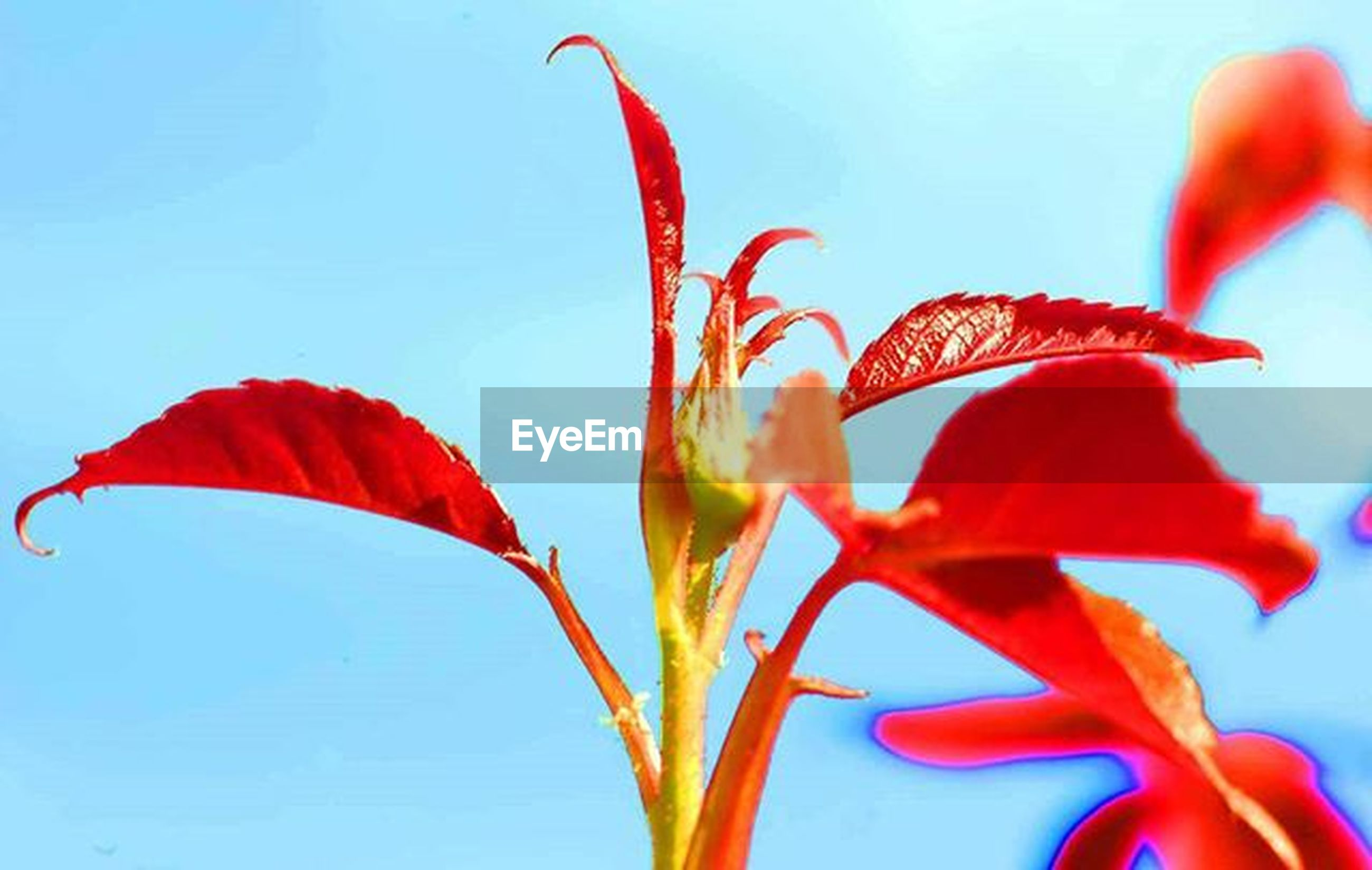 flower, petal, freshness, fragility, flower head, growth, close-up, beauty in nature, red, stem, clear sky, plant, nature, blooming, low angle view, in bloom, bud, focus on foreground, sky, leaf