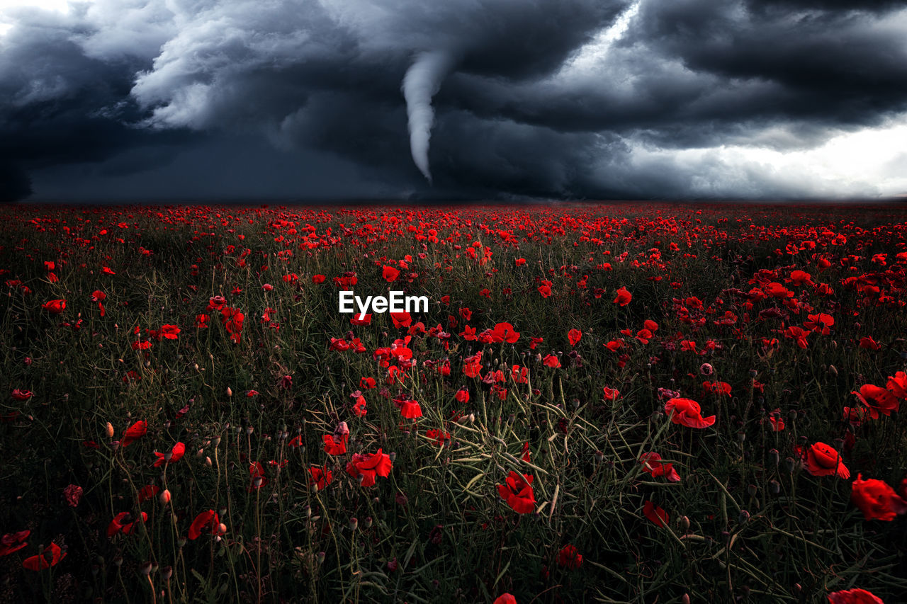 Red Poppies In Field Against Dramatic Sky