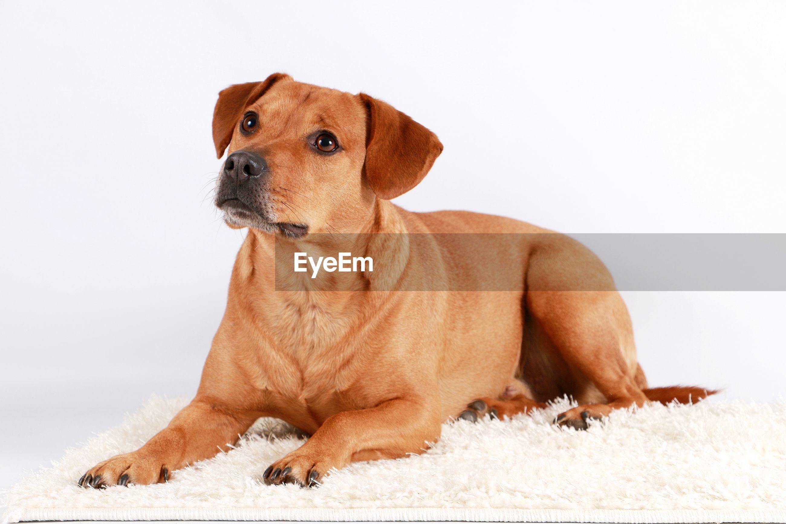 Close-up of dog sitting against white background