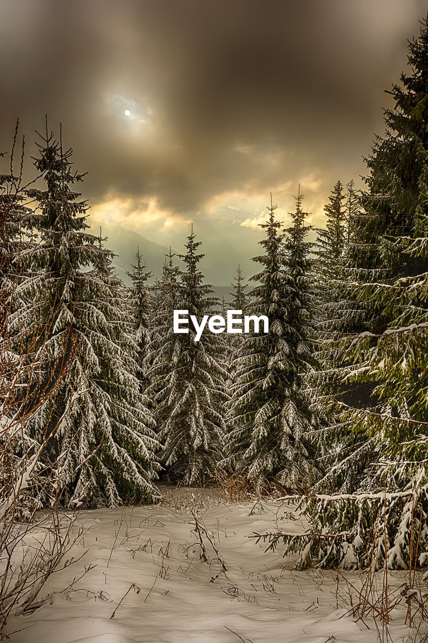 cold temperature, snow, winter, tree, nature, tranquil scene, tranquility, weather, no people, beauty in nature, scenics, pine tree, landscape, outdoors, growth, day, forest, sky, spruce tree