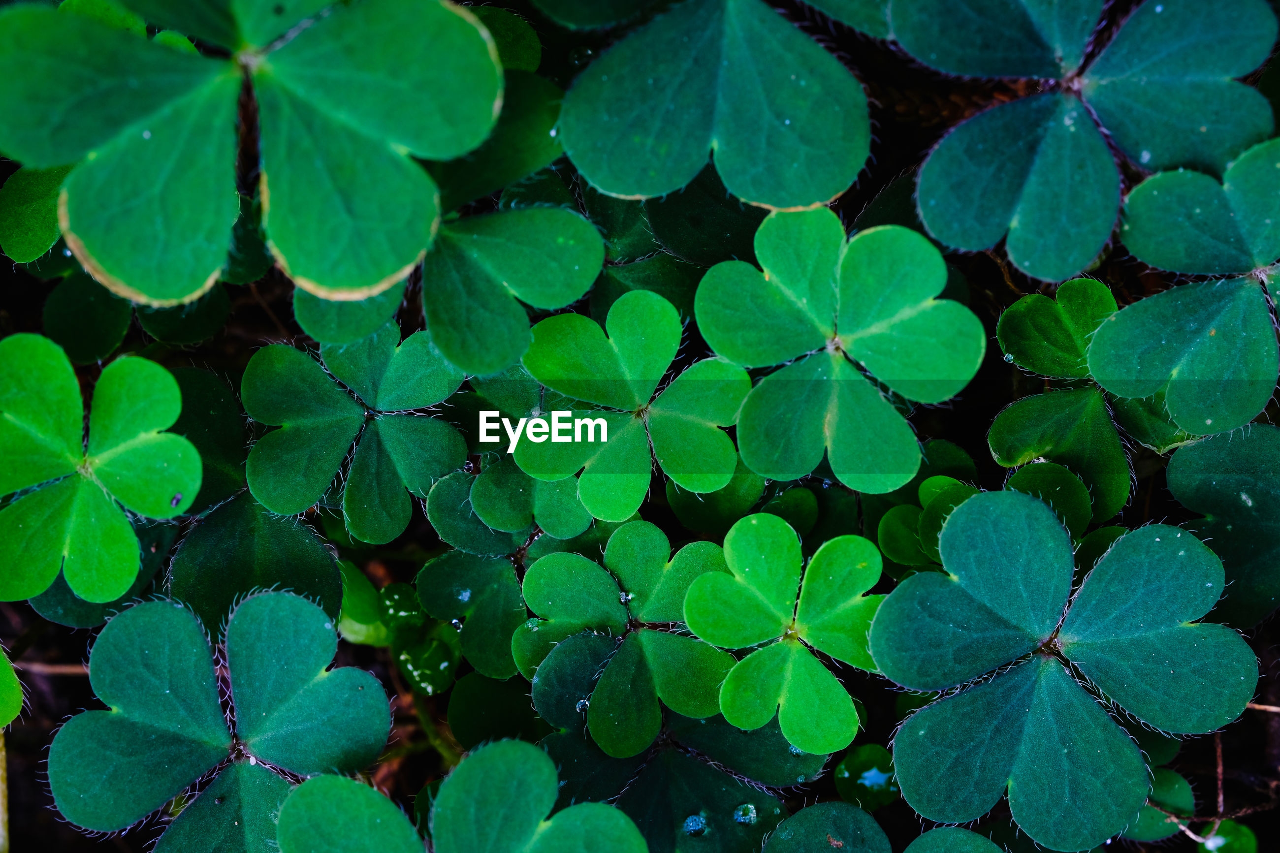 Green clover leaf background. shamrock. st. patrick's day holiday symbol, time to spring concept.