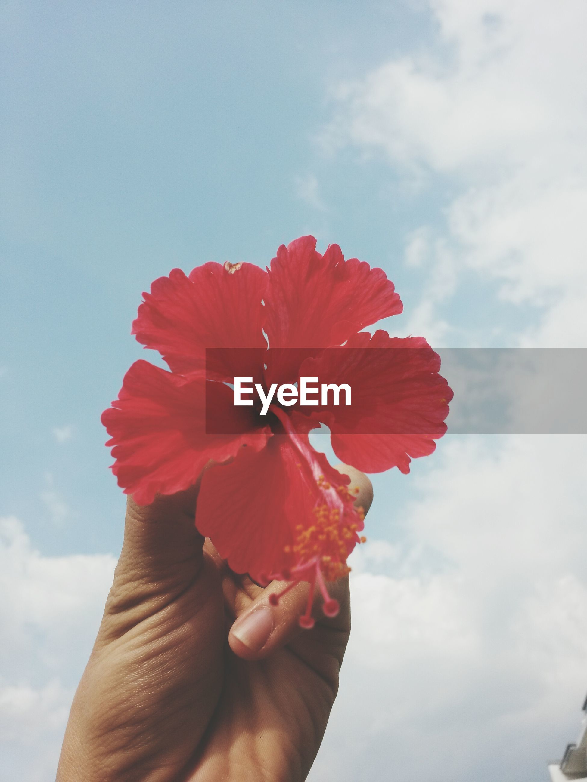 Cropped image of hand holding hibiscus against cloudy sky