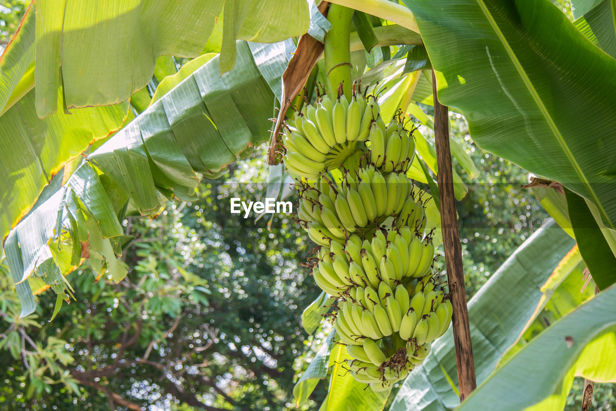 The banana tree has a bunch of bananas with fresh green leaves in the banana garden.