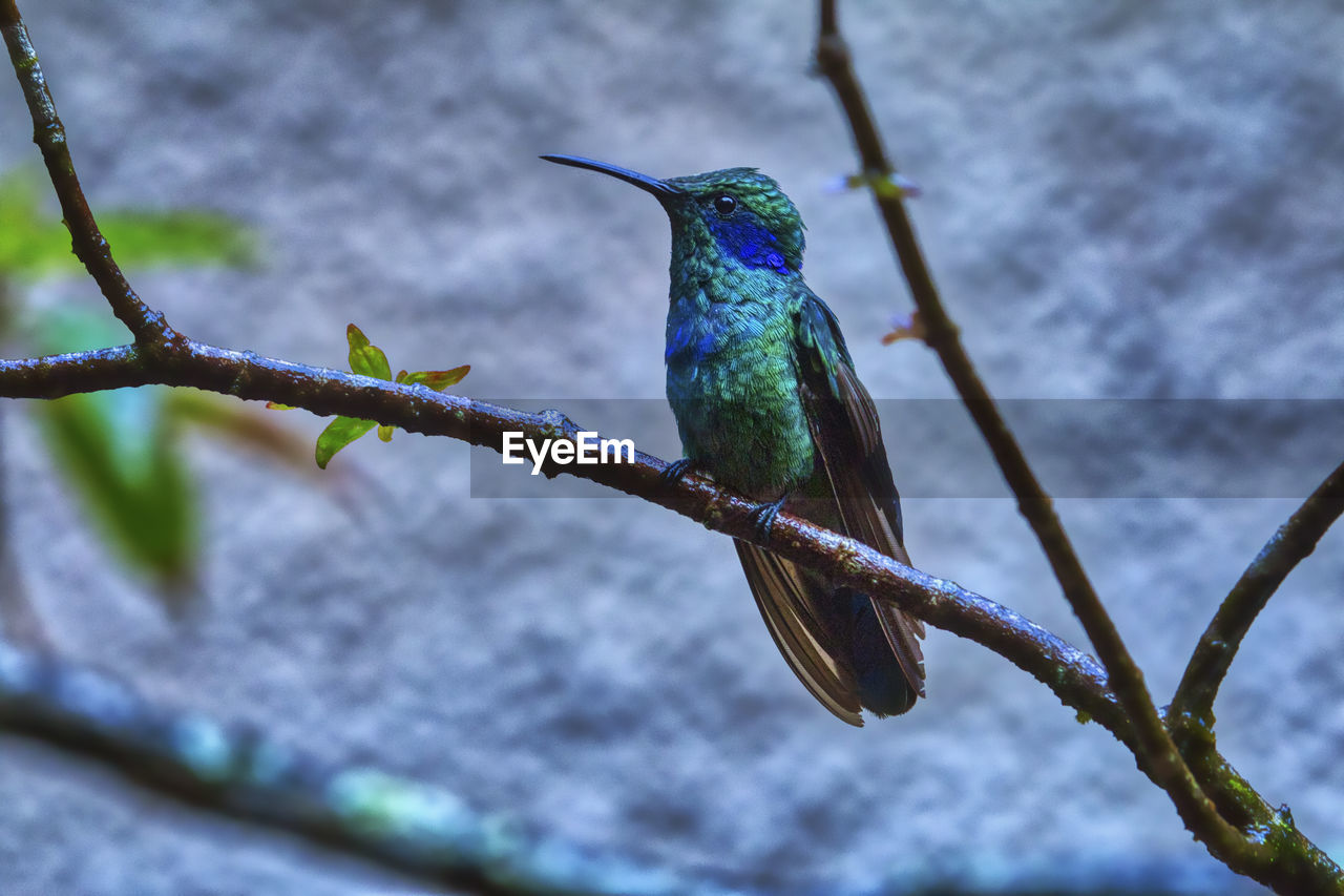 animal wildlife, vertebrate, bird, animal themes, animal, animals in the wild, one animal, perching, no people, hummingbird, focus on foreground, branch, plant, nature, beak, day, tree, green color, beauty in nature, close-up, outdoors