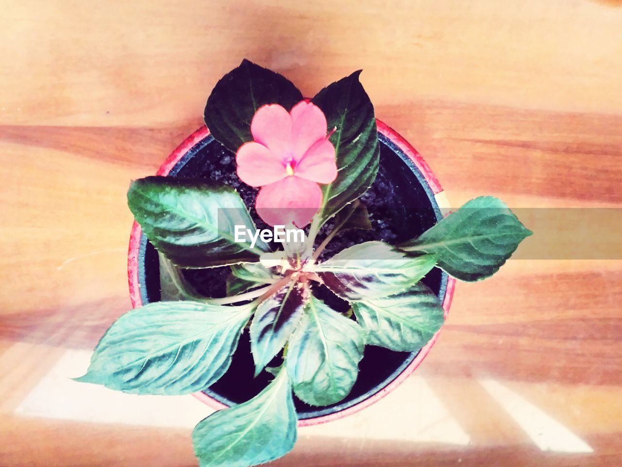 flower, high angle view, fragility, close-up, flower head, table, indoors, leaf, petal, nature, green color, directly above, no people, beauty in nature, ribbon - sewing item, gift, plant, ribbon, day, freshness, periwinkle