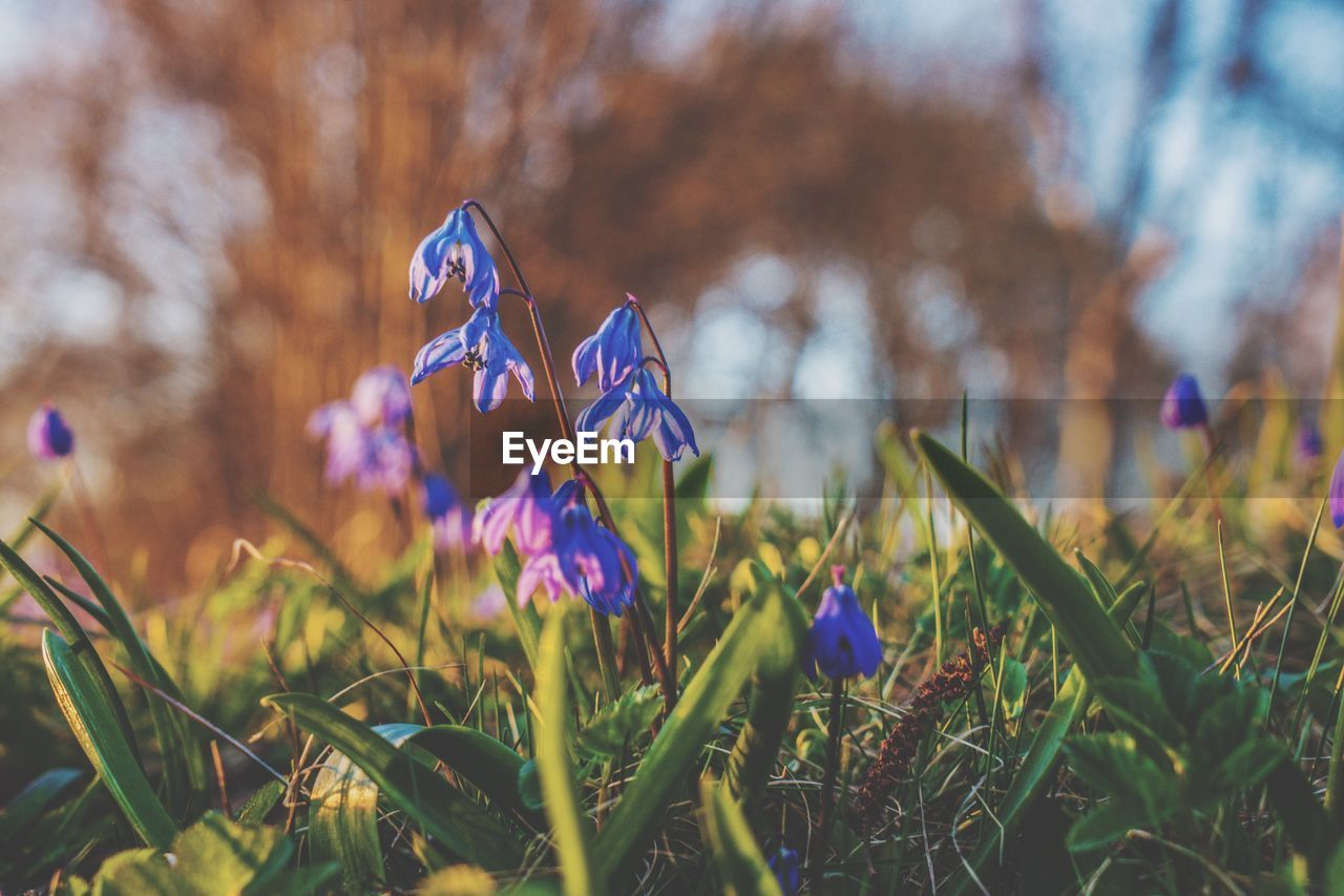 plant, flowering plant, growth, flower, beauty in nature, fragility, vulnerability, freshness, land, field, nature, close-up, petal, purple, day, focus on foreground, grass, no people, iris, selective focus, flower head, outdoors, crocus, springtime