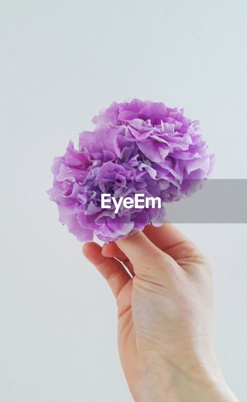 hand, flower, human hand, studio shot, human body part, white background, flowering plant, one person, holding, beauty in nature, plant, indoors, close-up, vulnerability, fragility, personal perspective, body part, finger, human finger, flower head, purple, flower arrangement