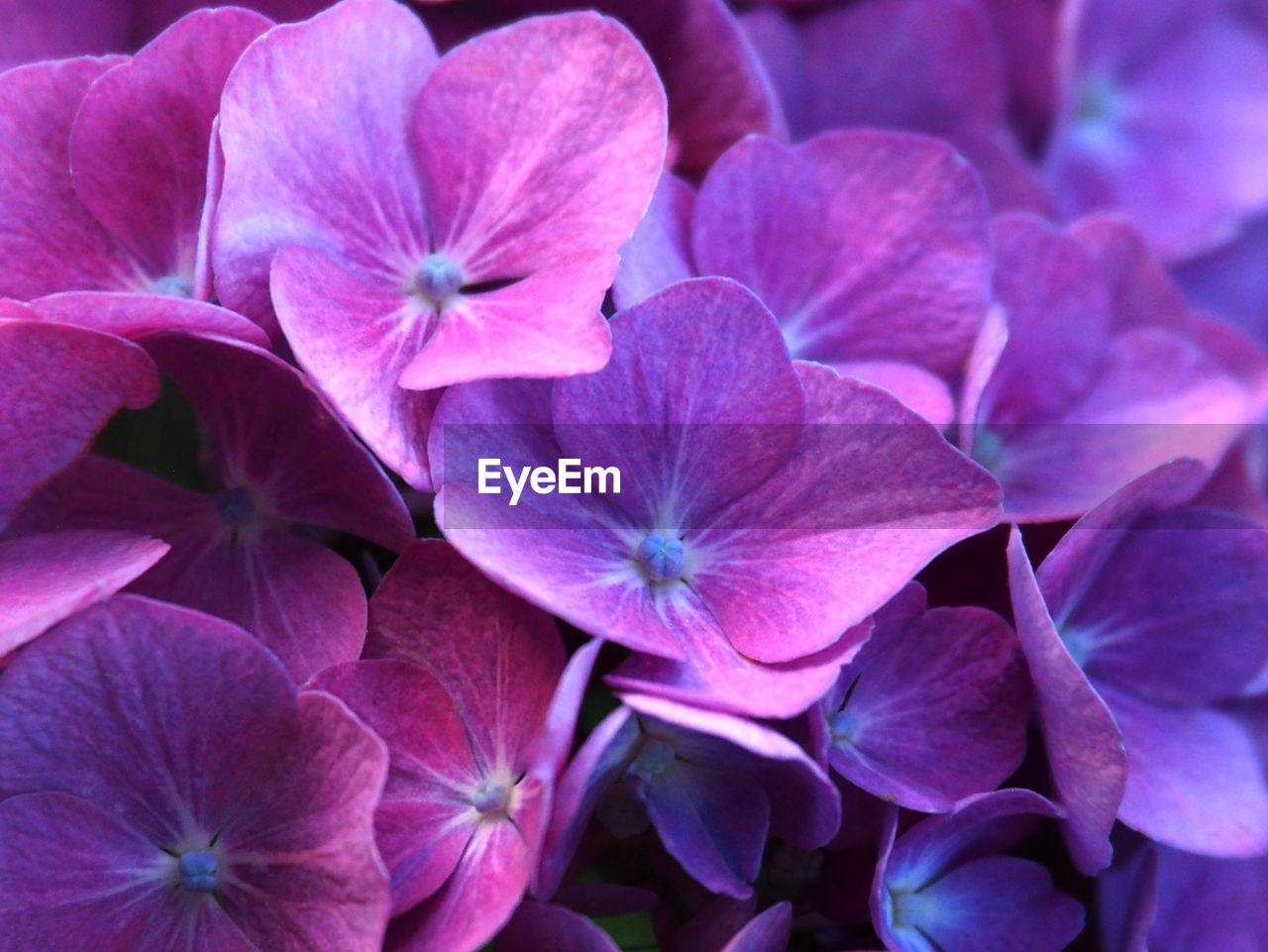 FULL FRAME SHOT OF PINK HYDRANGEA FLOWERS