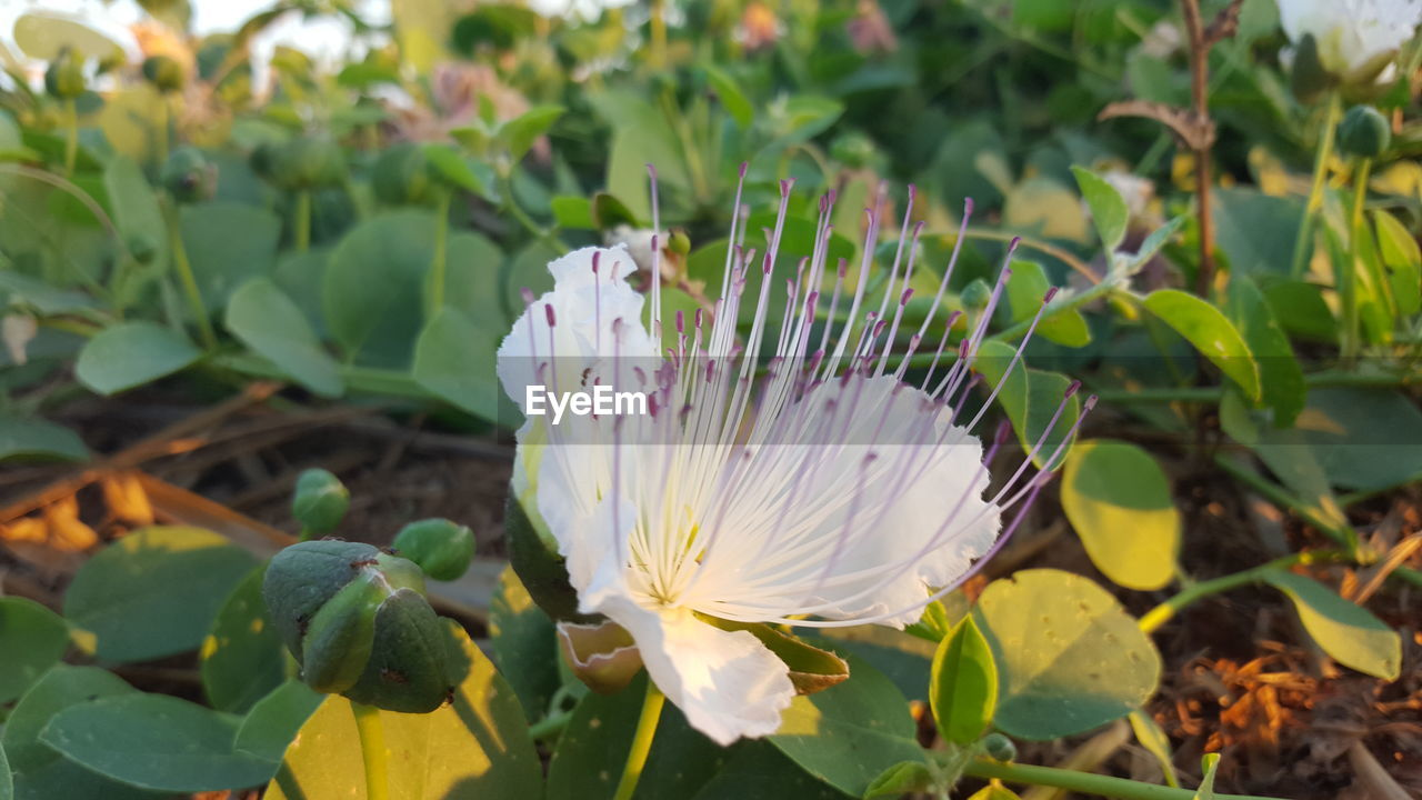 growth, beauty in nature, plant, flowering plant, flower, freshness, fragility, vulnerability, petal, close-up, flower head, leaf, nature, inflorescence, plant part, white color, day, focus on foreground, green color, no people, outdoors, pollen