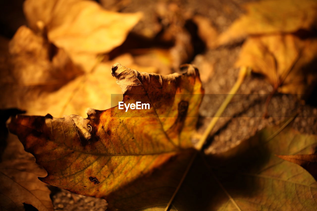 leaf, plant part, dry, autumn, no people, close-up, nature, leaves, change, falling, selective focus, fragility, leaf vein, vulnerability, wood - material, day, focus on foreground, outdoors, brown, natural pattern, dried