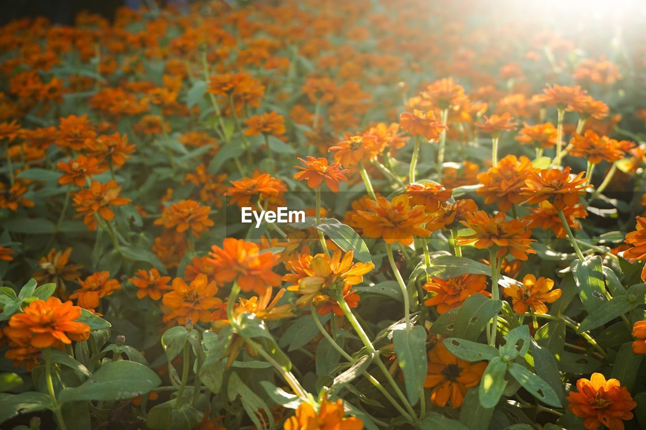 flower, growth, orange color, beauty in nature, nature, plant, freshness, blooming, petal, fragility, marigold, no people, outdoors, field, flower head, day, close-up