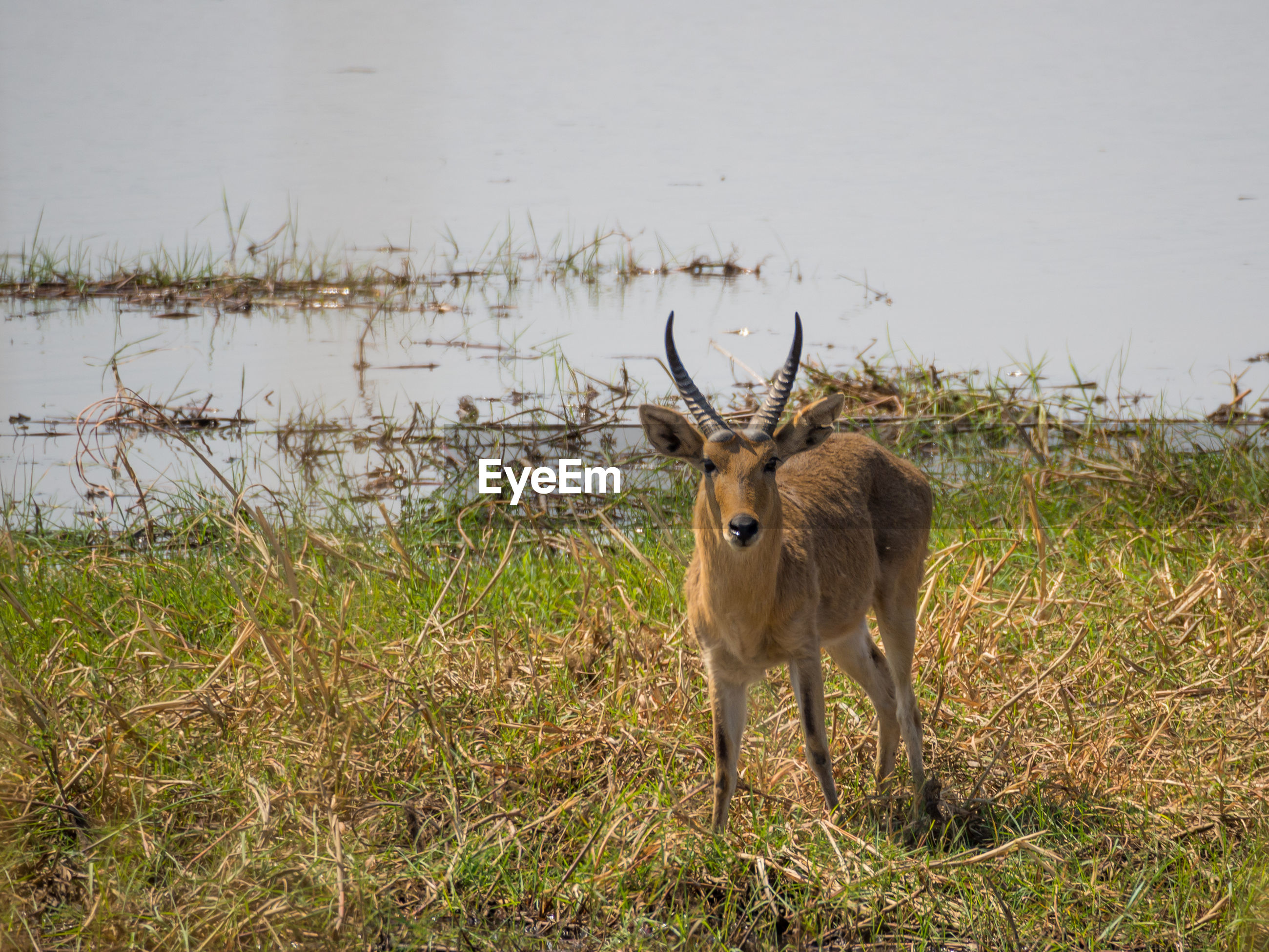 Water buck standing next to river in national park, namibia, africa