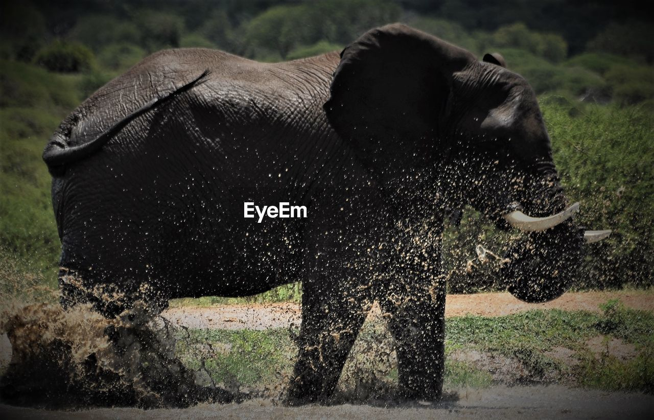 mammal, animal themes, one animal, grass, no people, outdoors, cow, animals in the wild, day, nature, side view, domestic animals, water, standing, american bison