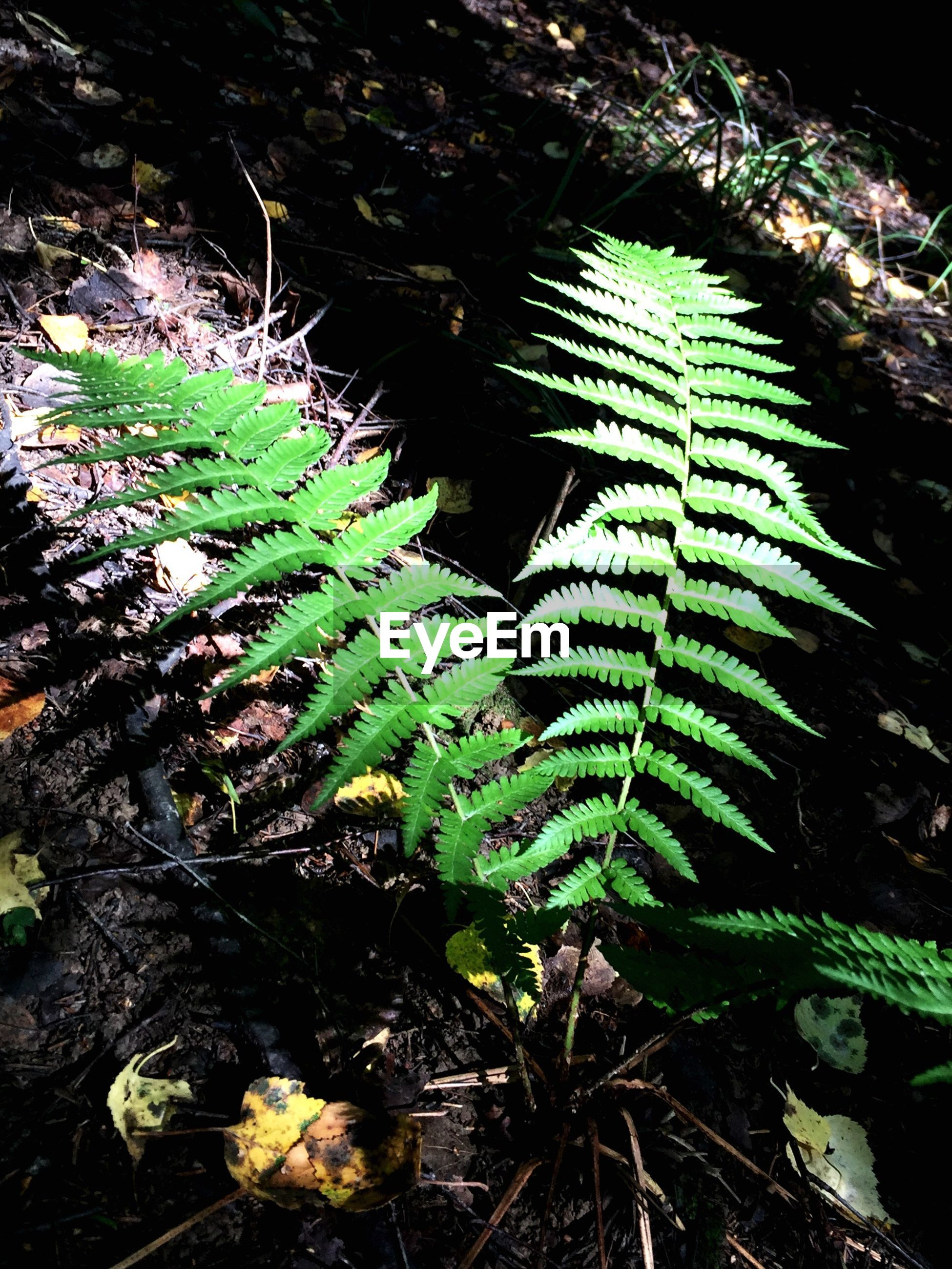 growth, plant, green color, leaf, close-up, nature, fern, branch, botany, beauty in nature, outdoors, tranquility, day, scenics, freshness, focus on foreground, plant life, fragility, green, evergreen tree, lush foliage, no people, tranquil scene, thorn
