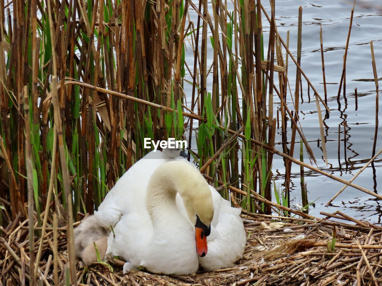 animal themes, animal, vertebrate, animal wildlife, bird, plant, animals in the wild, one animal, day, nature, no people, water, white color, young bird, young animal, swan, lake, animal nest, grass, cygnet
