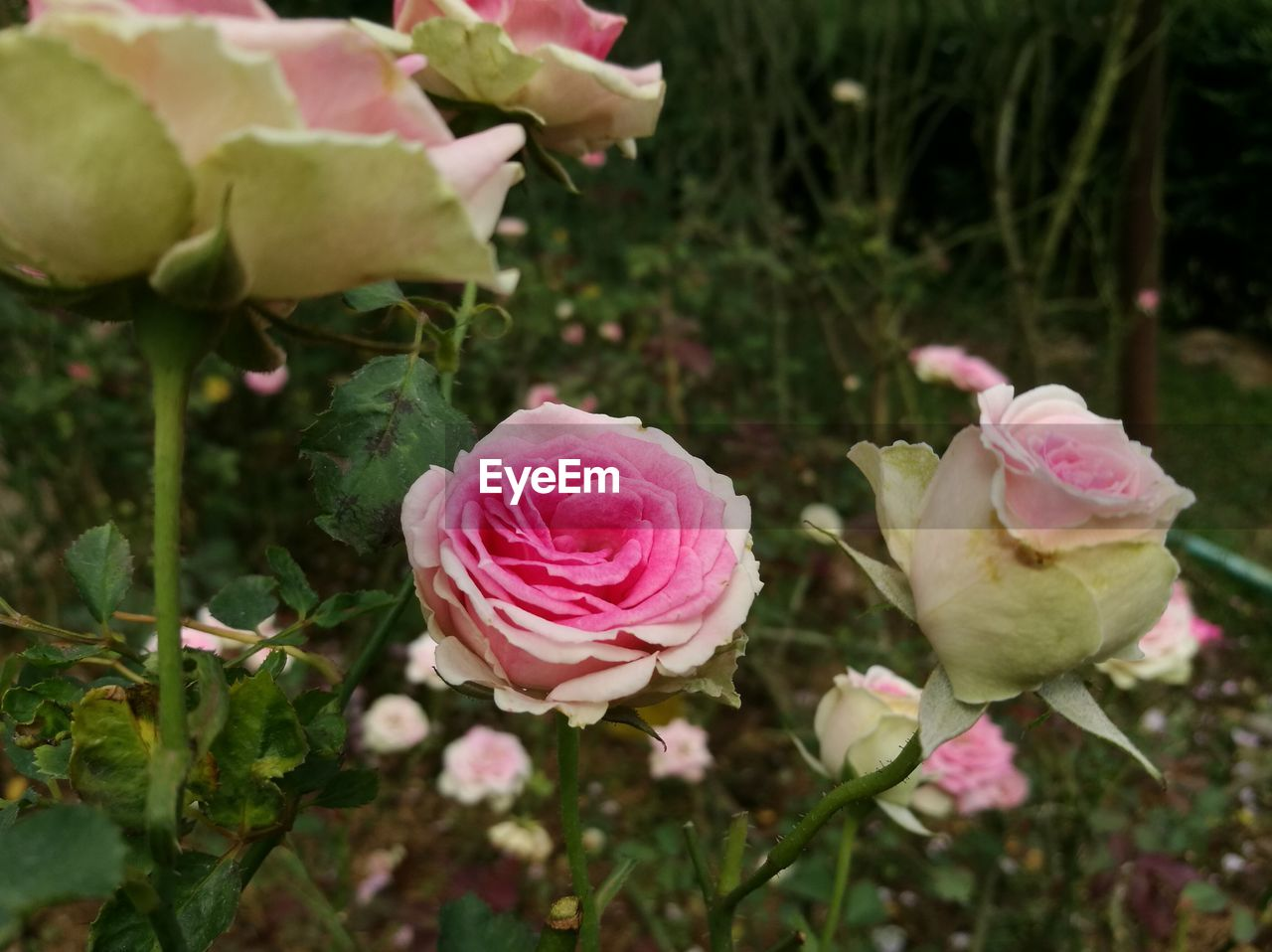 flower, pink color, petal, rose - flower, nature, flower head, fragility, growth, plant, no people, freshness, beauty in nature, blooming, close-up, outdoors, day