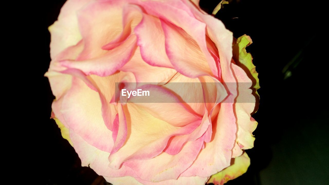 flower, petal, flower head, fragility, pink color, beauty in nature, nature, black background, freshness, close-up, studio shot, growth, rose - flower, no people, plant, outdoors, day, blooming