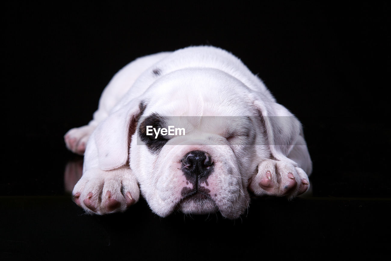 English Bulldog Puppy Lying Against Black Id 98865497