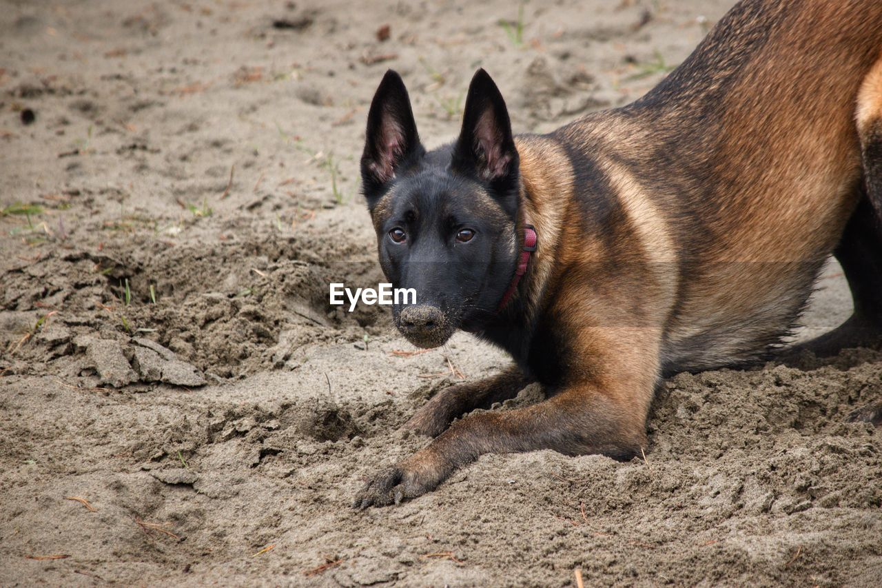 Close-up portrait of a dog digging in sand